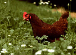 Lebbeke zet kippen in om het keukenafval te verminderen.